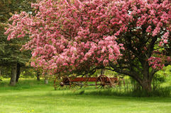 Blooming Cherry Tree. A cherry tree in full bloom with a wagon royalty free stock photos