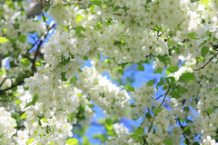 Blooming cherry tree. Cherry blossom close-up. Shallow depth of field Stock Image