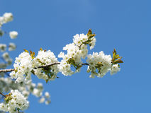 Blooming cherry tree (2) Stock Photography