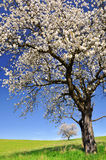 Blooming cherry tree. In the national park Sumava - Czech Republic Royalty Free Stock Images