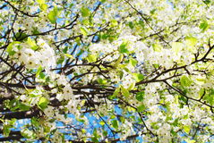 Blooming cherry tree Stock Image