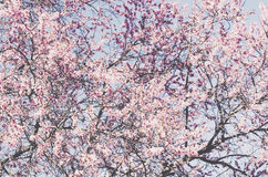 Blooming cherry tree against blue sky, backdrop Stock Photos