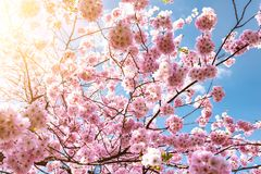 Blooming cherry tree against blue sky Stock Photo