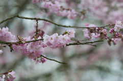 Blooming cherry tree. Blossom of a cherry tree in the spring Royalty Free Stock Image