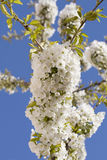 Blooming cherry. Tree and blue sky Stock Images