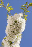 Blooming cherry. Tree and blue sky Royalty Free Stock Photos