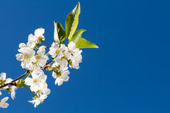 Blooming cherry tree. And blue sky Royalty Free Stock Photos
