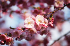 Blooming Cherry Tree Branch