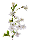 Blooming cherry tree branch Royalty Free Stock Photography