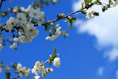Blooming cherry tree branch against blue sky and white clouds. Royalty Free Stock Photo