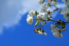Blooming cherry tree branch against blue sky and white clouds. Royalty Free Stock Photos