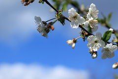 Blooming cherry tree branch against blue sky and white clouds. Stock Photography