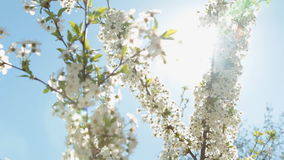 Blooming cherry tree branch and the sun`s glares against blue sky background. Play of sun through new fresh green leaves and flowers stock video