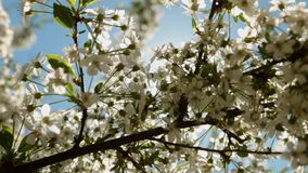 Blooming cherry tree branch and the sun`s glares against blue sky background. Play of sun through new fresh green leaves and flowers stock video footage