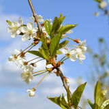 Blooming cherry tree. Branch with tender white flowers Stock Photo