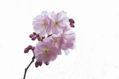Blooming cherry tree branch. On white sky background. Isolated Stock Photo