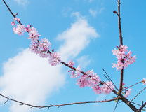 Blooming cherry tree branches Stock Photo