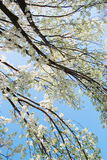 Blooming cherry tree branches Royalty Free Stock Photo