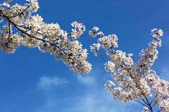 Blooming cherry tree branches against a blue sky. Stock Photos