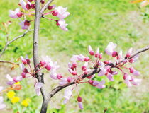 Blooming cherry tree branches Royalty Free Stock Photos