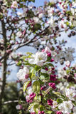 Blooming cherry tree Royalty Free Stock Photography