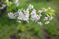 Blooming cherry tree brunch with tender white flowers - closeup Stock Images