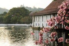 Blooming cherry tree and Buddha, Kandy, Sri Lanka Stock Photo