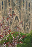 Blooming cherry tree with cathedral at background Royalty Free Stock Photography