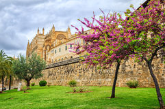 Blooming cherry tree in the cathedral garden, Palma de Mallorca, Royalty Free Stock Photos