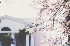 Blooming cherry tree in a city Stock Photo