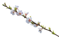 Blooming cherry-tree 21 Stock Photography