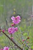 Blooming cherry-tree 6 Stock Photos