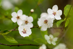 Blooming cherry tree. Close-up in spring time royalty free stock photos