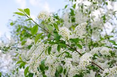 Blooming cherry tree closeup Royalty Free Stock Images