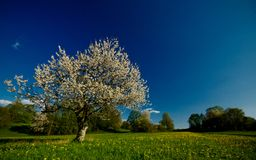 Blooming cherry tree in country. Scenic view of blooming cheery tree in countryside meadow with blue sky background Stock Photography
