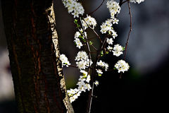 Blooming cherry tree in early springtime Stock Photos