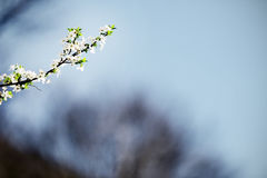 Blooming cherry tree in early springtime Royalty Free Stock Photography