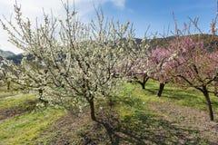 Blooming Cherry Tree Stock Image