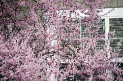 Blooming cherry tree hides windows of a house in Seattle suburbs Royalty Free Stock Photo
