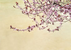Blooming cherry tree at lake with sandy bottom Royalty Free Stock Photography