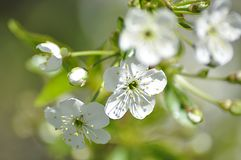The blooming cherry tree in may royalty free stock photos