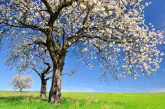 Blooming cherry tree Stock Photography