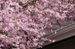 Blooming cherry tree overpowers roofs in Seattle suburbs Stock Image