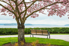 Blooming Cherry Tree Park Bench Sea. Park bench looking out to sea. Cherry tree in bloom in foreground. Copy space royalty free stock images
