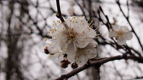 Blooming cherry tree. After rain for backgrounds Royalty Free Stock Photos