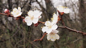 Blooming cherry tree. After rain for backgrounds Stock Photo