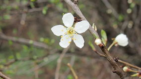 Blooming cherry tree. After rain for backgrounds Stock Photography