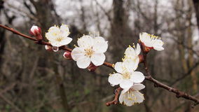 Blooming cherry tree. After rain for backgrounds Royalty Free Stock Images