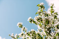 Blooming cherry tree on the sky background Stock Images