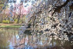 Blooming cherry tree, small house on background stock photo